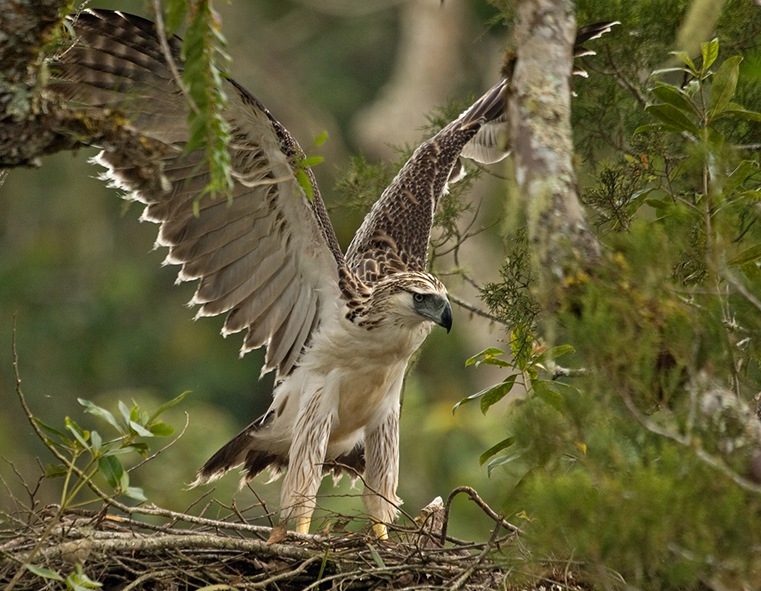 Top 10 Most Extraordinary & Endangered Birds Across the Globe The Philippine Eagle WorldBirder